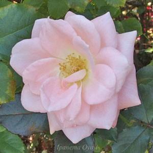 優花はフロリバンダ系統の中輪バラ