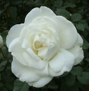 ハイブリッドティー系統の中でも花色の白さが際立ちますね