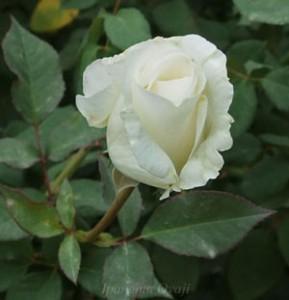 ユキサンは開花の段階から真っ白ですね