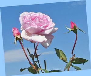 夢香は外弁がピンク色で弁芯に向かって色濃くなる