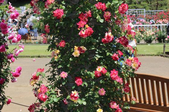 つるマスカレードの花径は5cmの小輪サイズ