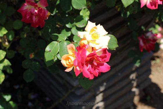 つるマスカレードの花形は半剣弁八重咲き