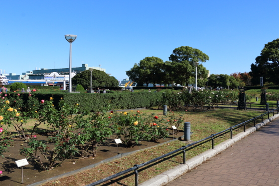 バラ園の風景 山下公園