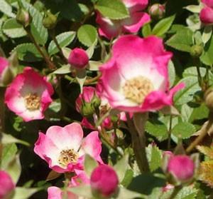 ベビー カクテルは四季咲きです