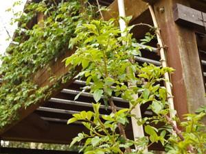 多摩グリーンライブ つるバラが枝を伸ばしていた