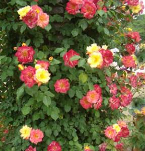 つるマスカレードは返り咲き品種です