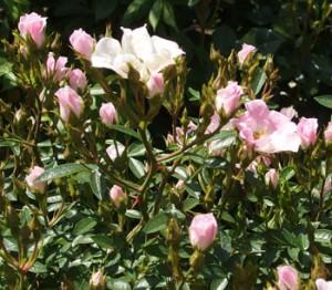 宮城野は白地にピンク色の覆輪が入る一重咲き