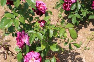 パープル タイガーの樹形はコンパクトで鉢栽培にも向いています