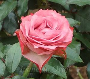 浪漫はグレーがかったピンク色の珍しい花色