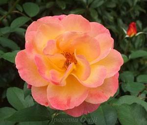 スヴニール・ドゥ・アンネ・フランクは花径が9cmの中大輪花