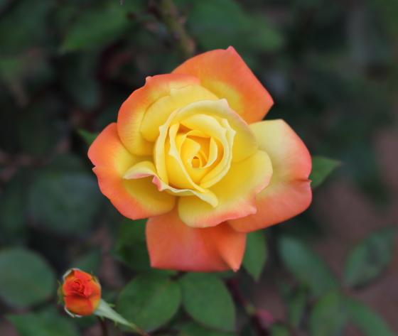 高尾の花形は剣弁高芯咲きです