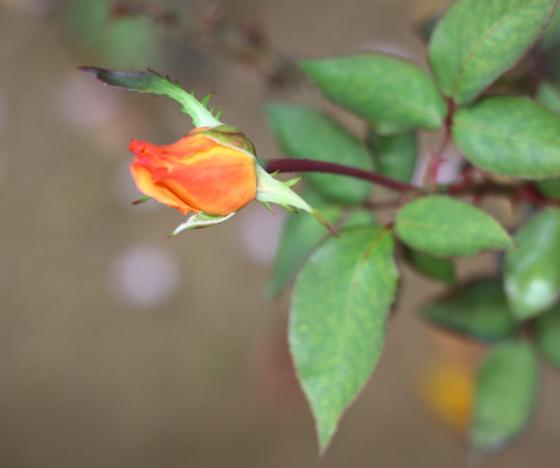 高尾は四季咲きです