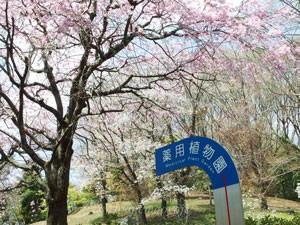 東京薬科大学の構内には桜が咲いていた