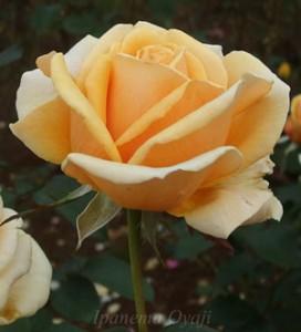 バレンシアの花弁は半剣弁高芯咲き