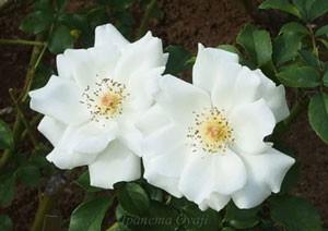 ホワイト マジックの花径は約6cmの中輪花