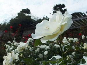 ホワイト マジックは四季咲き品種です