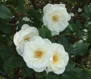 ホワイト マジックはの花形は丸弁平咲きです