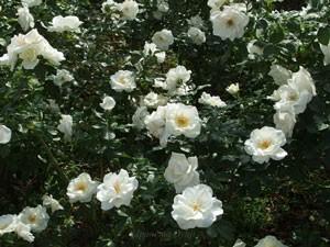ホワイト マジックは花つきのよいバラ