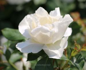 ホワイト マジックの花色はアイボリー色です