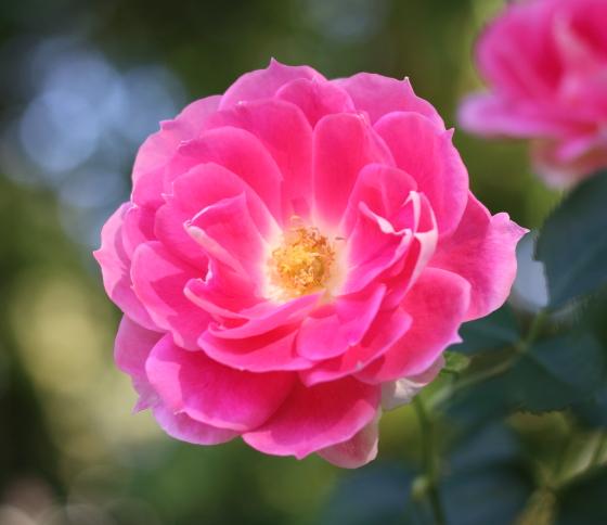 ケアフリー・ワンダーの花弁数は26~36枚前後です