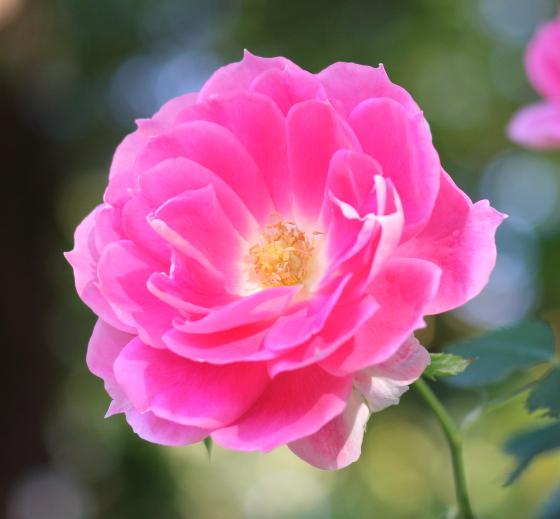 ケアフリー・ワンダーは丸弁平咲きの花です