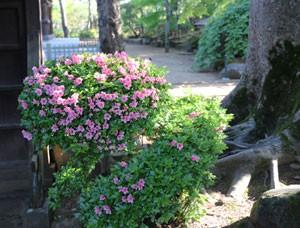 豪徳寺の花 ツツジ