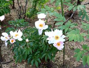 豪徳寺の花 シャクヤク