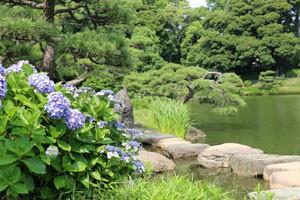 回遊式庭園の池の傍らにアジサイの花が咲いている