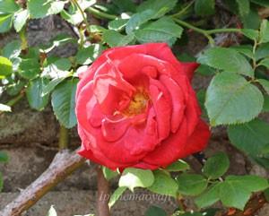 つるブラック ティーはつるバラにしては大輪の花を咲かせます