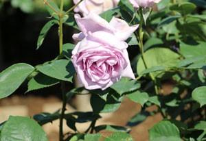 つるブルー ムーンは花枝が長く切花用に最適です