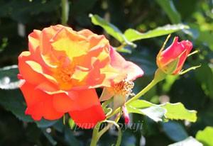 生田緑地ばら苑に咲いていたリディア・ローズ