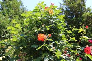 生田緑地ばら苑のオレンジ色のつるバラ