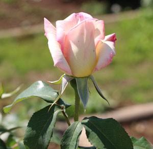 マダムヒデの花径は11cm程度