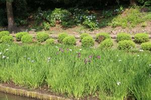 清澄庭園には花菖蒲も植えられていた