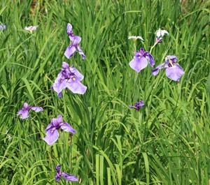 清澄庭園の花菖蒲は紫色の花
