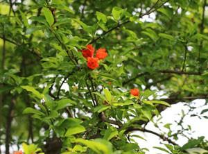 清澄庭園にあるオレンジ色のザクロの花