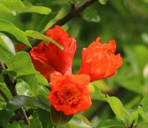 ザクロの花を眺めるのは珍しいです