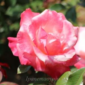 アブラカダブラはハイブリッドティー系統のバラ