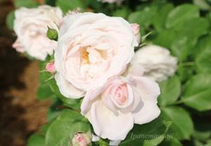 花ぼんぼりの花色はサーモンピンク色の上品な雰囲気のバラ