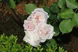 花ぼんぼりは数輪の房咲きになり花つきがよい