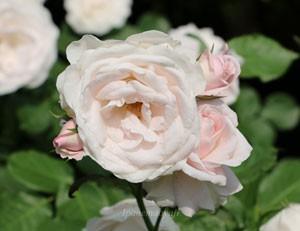 花ぼんぼりはフロリバンダ系統のバラです