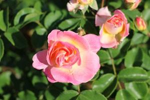 春風の花径は約7cmほどの中輪サイズ