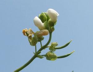インゲンは白色の小花を咲かせる