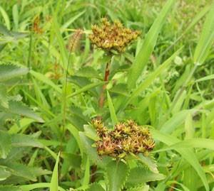 ホソバノキリンソウは多肉性多年草です
