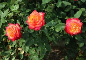 アリンカは赤色花弁で弁底が黄色くなるバイカラーの花色