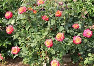 アリンカは花つきがよく1輪もしくは数輪の房咲きになる