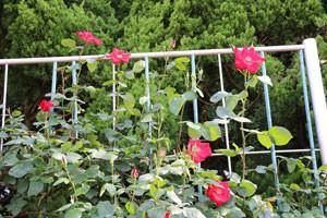 アルテシモは赤色の大輪咲きつるバラです