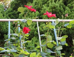 アルテシモは四季咲き性のつるバラ