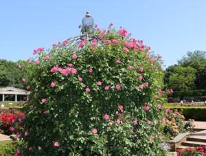 濃いローズ色の中輪サイズのバラ