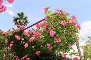 花つき花もちがよい品種